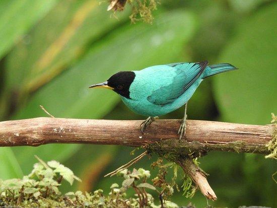 San Luis, Costa Rica : Green Honeycreeper