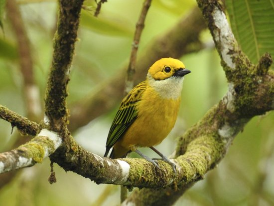 San Luis, Costa Rica: Silver-throated Tanager