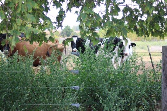 Fithian, IL: Cows in Field