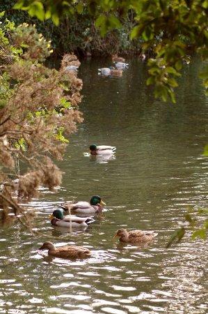 Crowne Plaza Hotel Dublin Airport: Ducks enjoying the lake beside the hotel