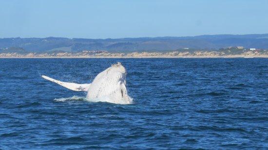 Ocean Safaris: Humpback whale calf