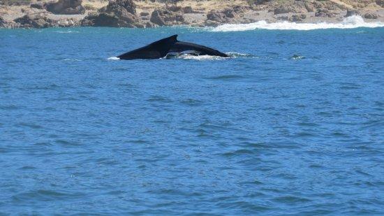 Ocean Safaris: Humpback whale - mother and calf