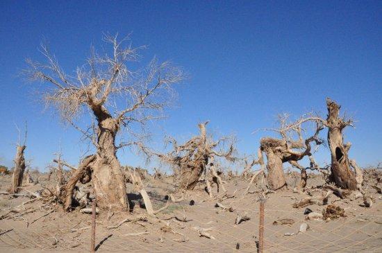 Alxa Zuoqi, الصين: 额济纳胡杨林之怪树林的怪影魅林2