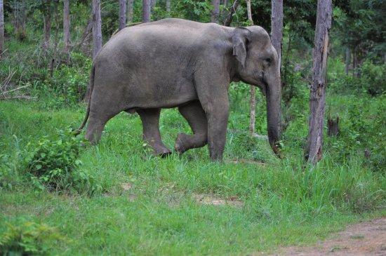 Provincia de Prachuap Khiri Khan, Tailandia: Kui Buri National Park. Elefant