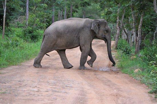 Provincia de Prachuap Khiri Khan, Tailandia: Kui Buri National Park Elefant i vår väg