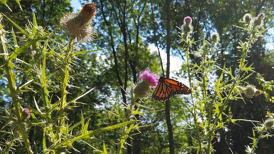 Harrington Beach State Park: Monarch visiting a Thistle flower