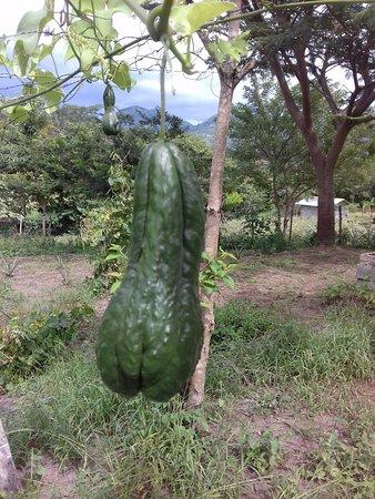 San Ramon, Nicaragua : grown organically at Tierra Alta