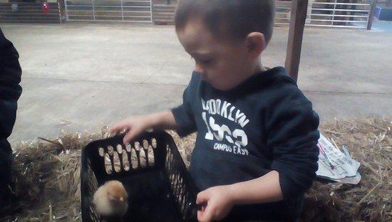 Beoley, UK: Baby chick handling !!