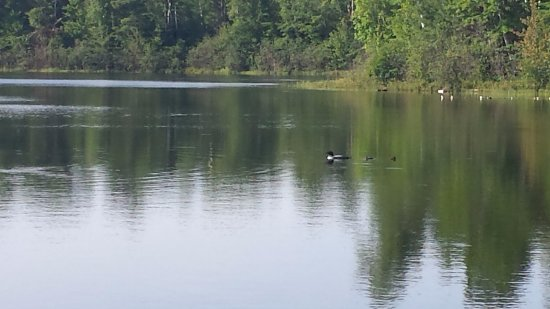 Valley, AL : migrating loons