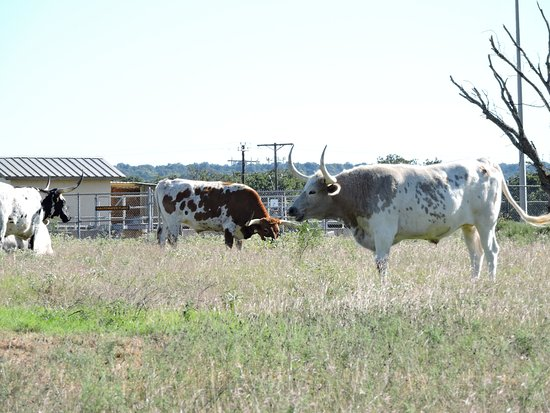 Stonewall, เท็กซัส: they also have some of the official Texas longhorn herd here, too.