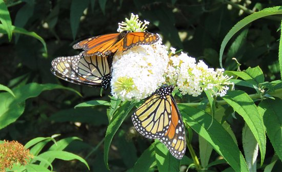 Waterford, CT: Butterfly Bush in garden with many Monarch butterflies