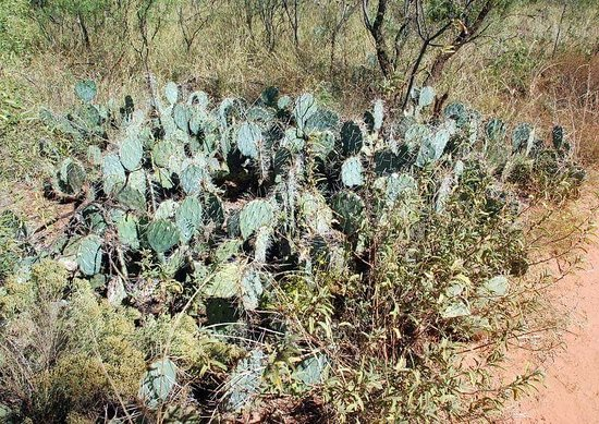 Canyon, TX: Lots of cactus