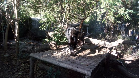 Buin, Chile: Pantera, increíble