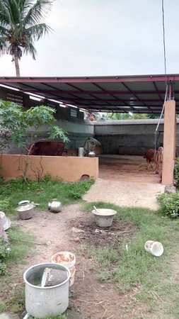 Arakkonam, Indie: The cow shelter inside the temple
