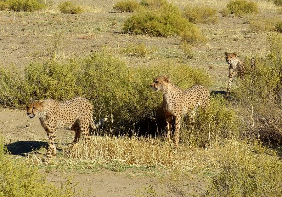 N/a'an ku se Lodge and Wildlife Sanctuary: Cheetah walk N/a'ankuse Wildlife Sanctuary Namibia