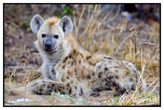Pungwe Safari Camp: Hyena Pungwe Safari Lodge