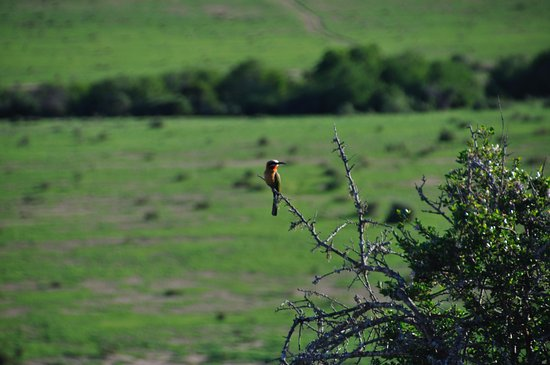 Kwandwe Private Game Reserve, Sudáfrica: White-fronted Bee Eater