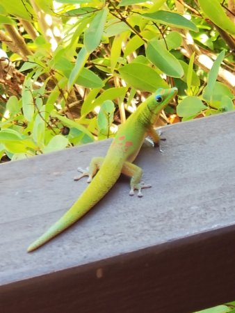Ke Iki Beach Bungalows: Gecko love