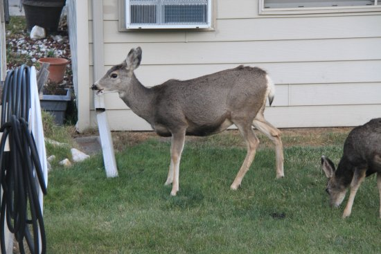 Ramada Keystone Near Mt Rushmore: Deer in local neighborhood near Ramada