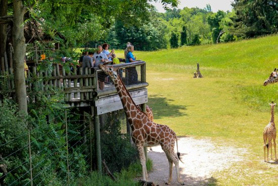 giraffe platform in wild africa at binder park zoo picture of