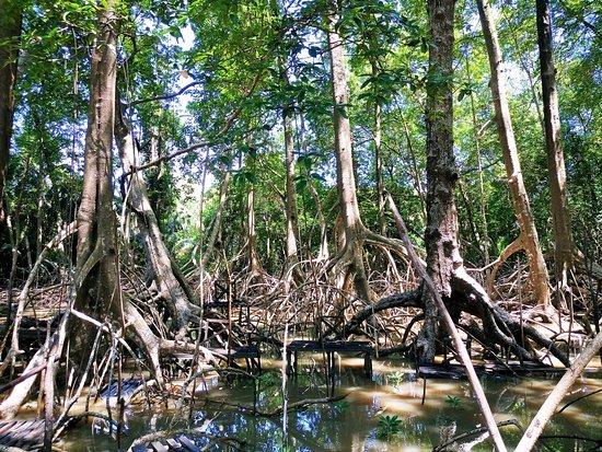 Soure: Mangroven, beeindruckend große Wurzeln