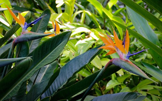 Bird Of Paradise, Kula Botanical Garden, Maui 10 3 17