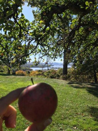 Garrison, NY: apple