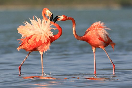 Rio Lagartos, Mexico: Flamingo mating !