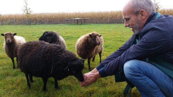 Oosterwolde, Nederland: Schapen voeren