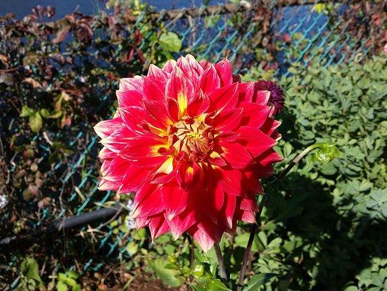 Shelburne Falls, MA: Dahlia blooming in October