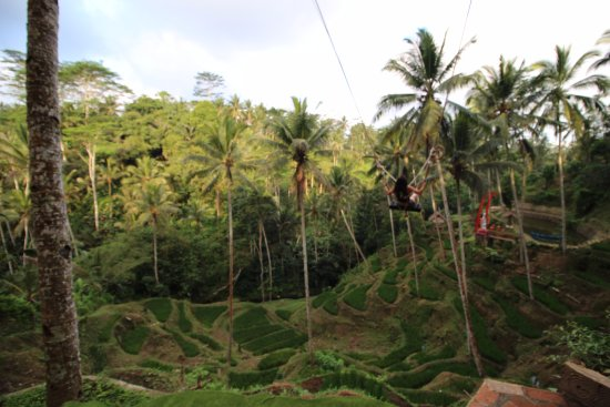 Satria Coffee Plantation in Bali - Bali Cat Poo Chino ...  Kopi Luwak Coffee Plantations