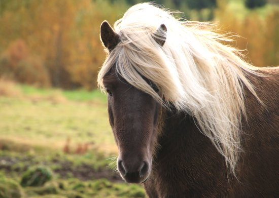 Minna-Mosfell Guesthouse: One of the ponies on the farm
