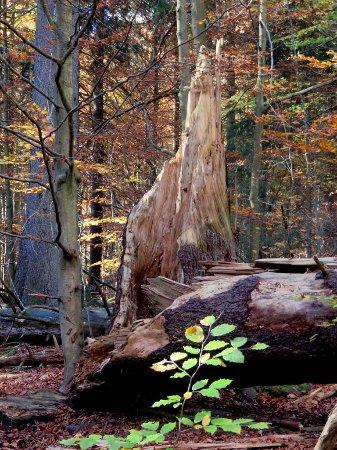 Grafenau, Alemania: umgestürzter Urwaldriese im Urwald Watzlik-Hain