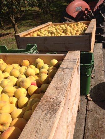 Johnson's Cottage Orchard & Fruit Stall: Picking Peacherines