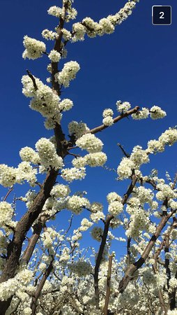 Johnson's Cottage Orchard & Fruit Stall: Plum Blossom