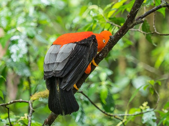 Image result for National Bird of Peru