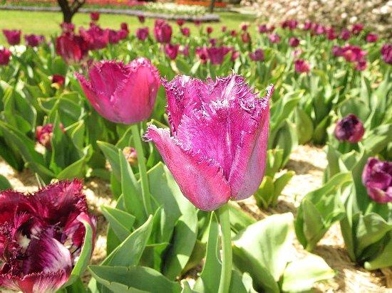 Sutton, Australia: Unusual tulip