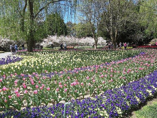 Sutton, Australia: Beautiful tulip beds