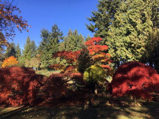 Burnaby, Kanada: Maple tree, the color is only in the fell