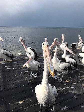 Pelican Feeding: photo0.jpg