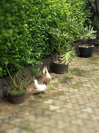 Puri Santi - Garden of Relaxation: Cute chickens around the Spa