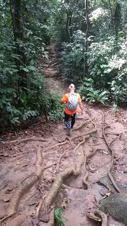 Rembau, Malasia: akar pohon besar membantu perjalanan