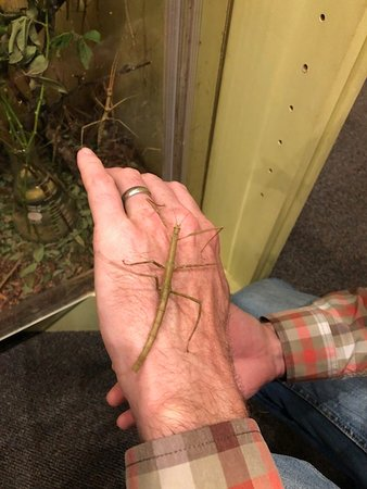 Yale Peabody Museum of Natural History : A stick bug.