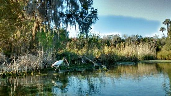 โฮโมซัสซา, ฟลอริด้า: A Wood Stork hunting for food along the banks of the Halls River