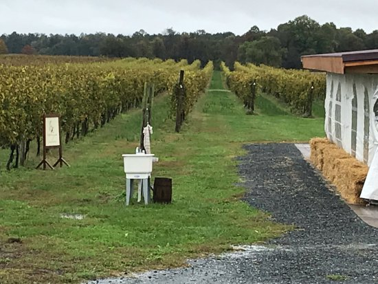 Kennedyville, MD: Vineyard