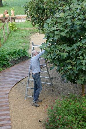 Castetnau-Camblong, France : Onze gastheer stond 's morgens op de ladder om ons een portie vijgen te kunnen meegeven.
