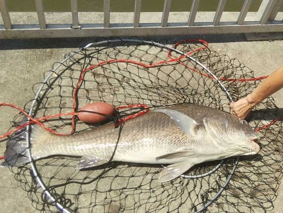 1st black drum caught at Cedar Key Pier