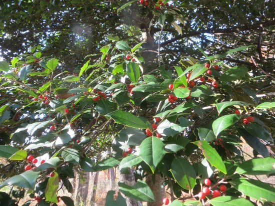 Morristown, NJ: Holly trees