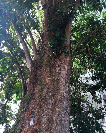 写真Oldest Rubber Tree枚
