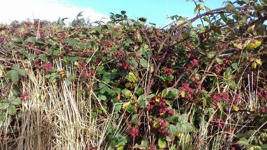 Gullane Beach: 2nd crop of blackberries